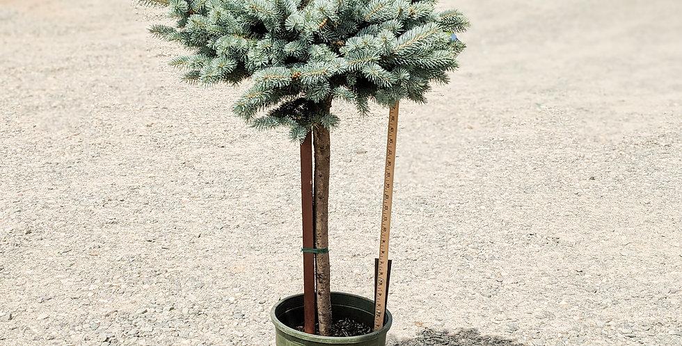 Globe Blue Spruce •Picea pungens 'Globosa (tree form)'