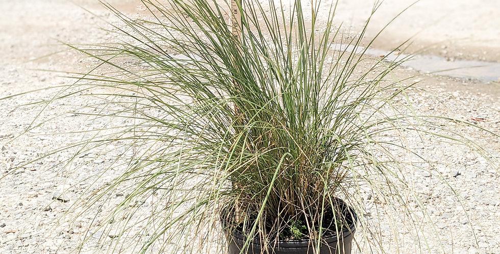 Regal Mist Pink Muhly Grass •Muhlenbergia capillaris 'Lenca'