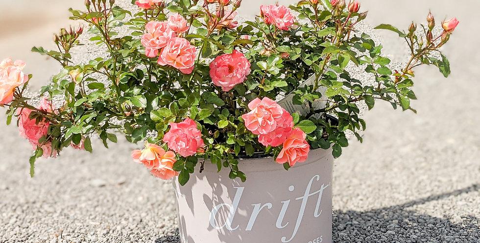 Peach Drift Groundcover Rose •Rosa 'Meigalpio'