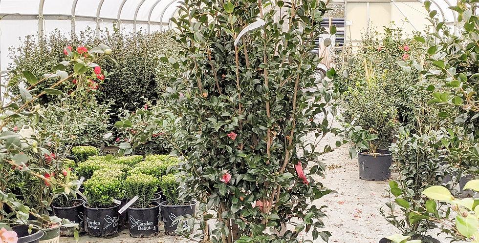 Dream Weaver Camellia •Camellia sasanqua 'Dream Weaver'