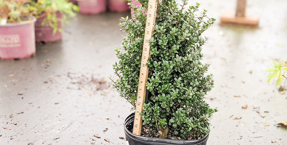 Steeds Upright Japanese Holly •Ilex crenata 'Steeds'