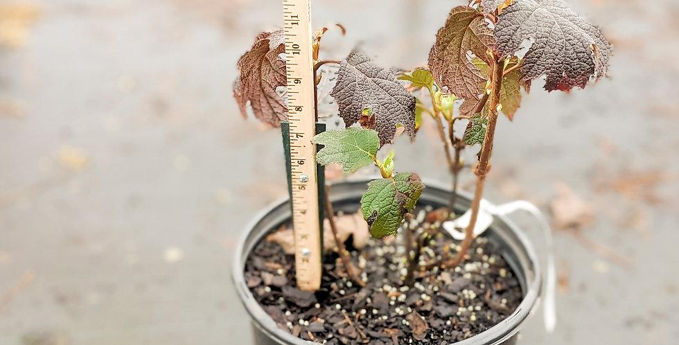 Ruby Slippers Oakleaf Hydrangea • Hydrangea quercifolia 'Ruby Slippers'
