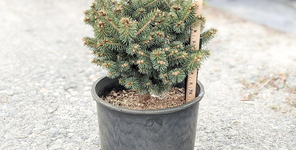 Dwarf Globe Blue Spruce •Picea pungens 'Globosa'