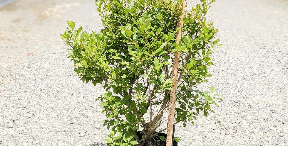 Red Sprite Winterberry -Ilex verticiliata 'Red Sprite'