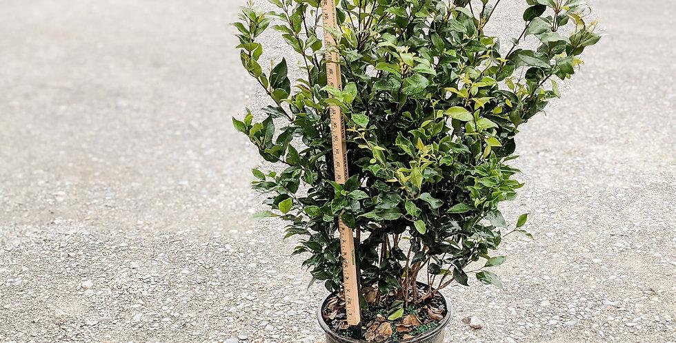 Ligustrum Recurvifolia (Privet) •Ligustrum japonicum 'Recurvifolium'