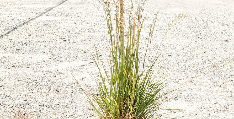 Korean Feather Reed Grass •Calamagrostis brachytricha