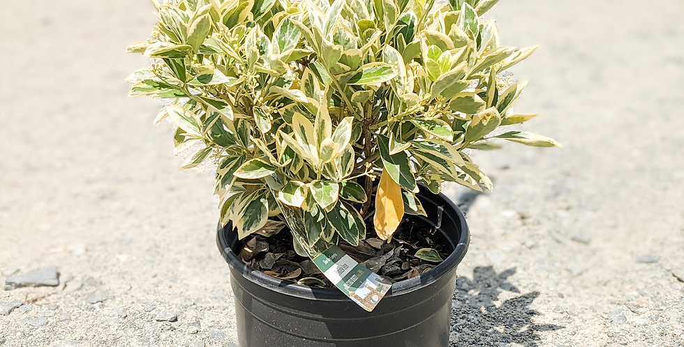 Silver King Euonymus •Euonymus japonicus 'Silver King'