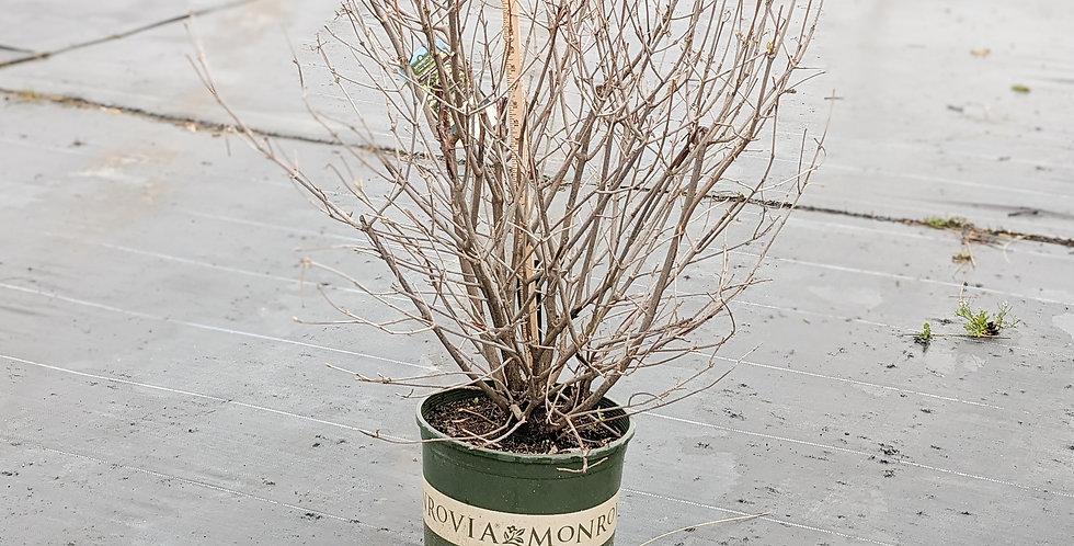 Sparkler Arrowwood Viburnum • Viburnum dentaum 'SMVDE'