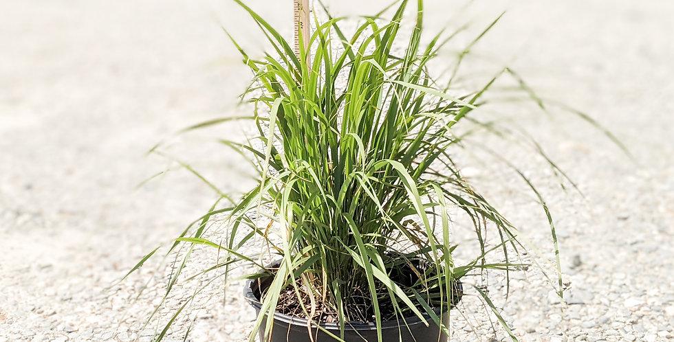 Karl Foerster Feather Reed Grass •Calamagrostis acutiflora