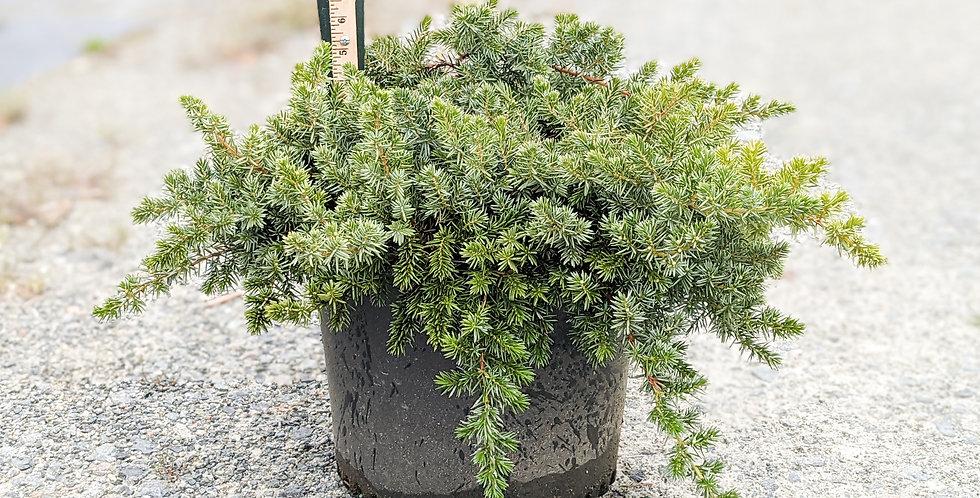 Blue Pacific Shore Juniper •Juniperus conferta 'Blue Pacific'