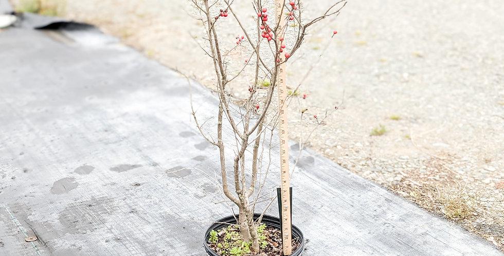 Winter Red Winterberry • Ilex verticillata 'Winter Red'
