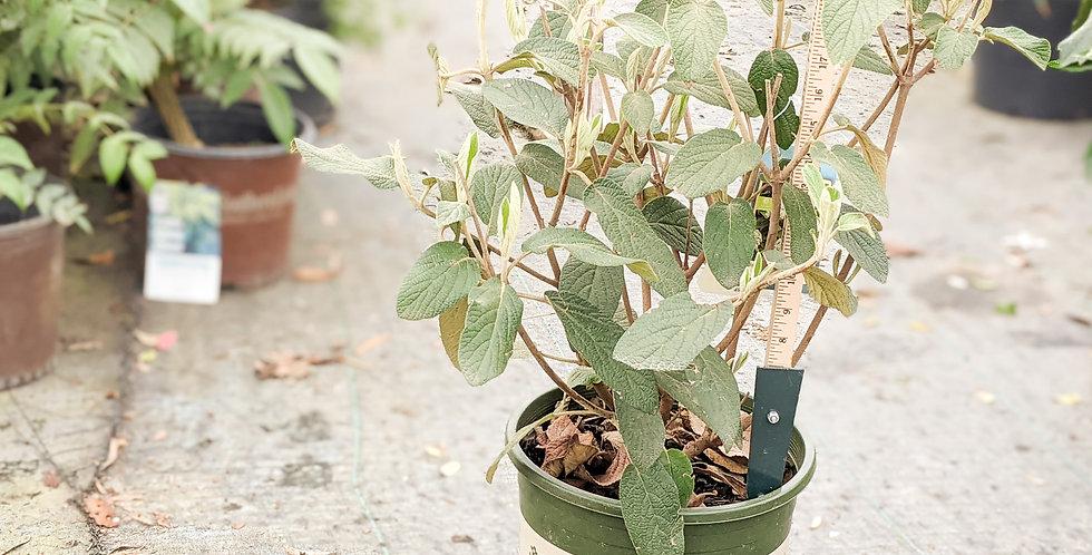 Allegheny Viburnum • Viburnum rhytidophylloides 'Allegheny'