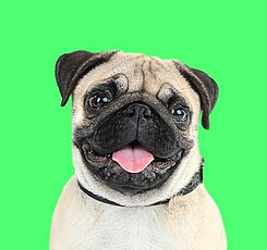 52075334-funny-cute-and-playful-pug-dog-