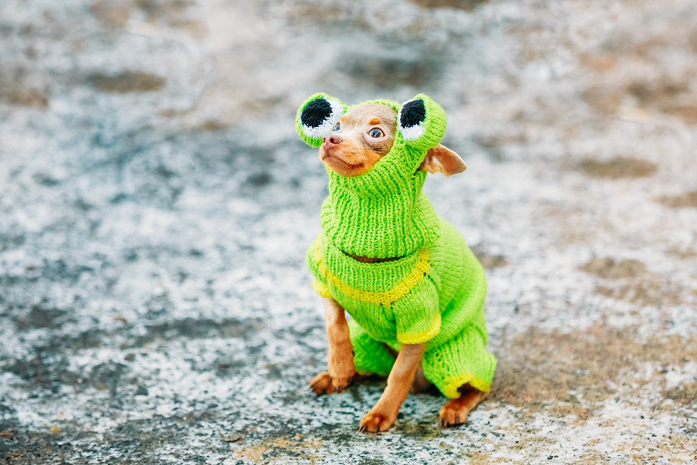 photodune-10487665-beautiful-tiny-chihuahua-dog-dressed-up-in-frog-outfit-stayin
