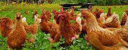 FFAF Chickens