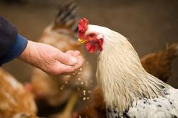 Chicken man hand