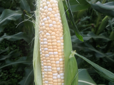 Organic Super Sweet Corn Available Now!