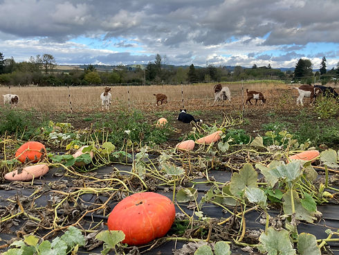 pumkins dogs and goats.jpg