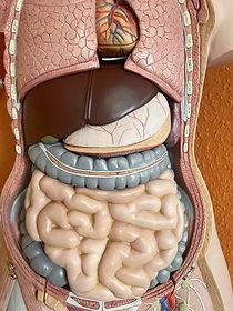 Verdauungstrakt Gastrointestinaltrakt