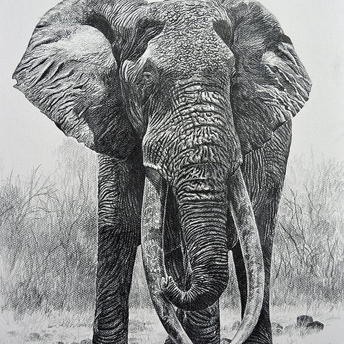 Sketch of Iconic Tsavo Tusker : KA-1