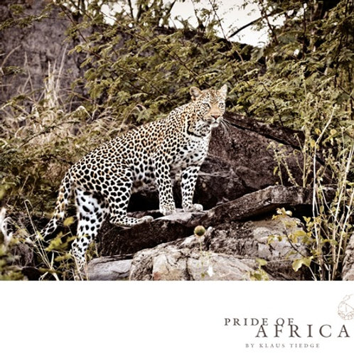African Greeting Card - Leopard