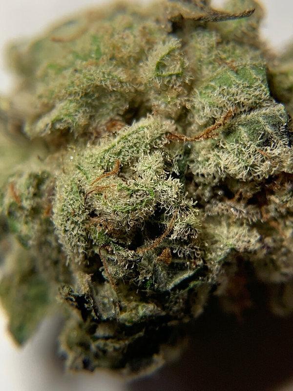 Cannabis Sativa, Medicinal Marijuana, Apothicaire Du Maine, Maine, USA.
