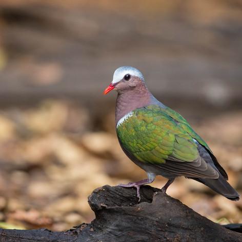 Common Emerald Dove