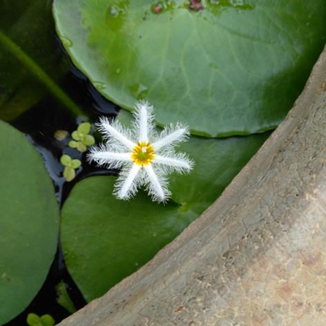Snowflake lotus