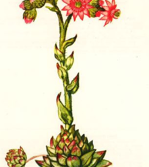 """Pflanze des Monats: unsere """"heimische"""" Aloe Vera – die Hauswurz"""