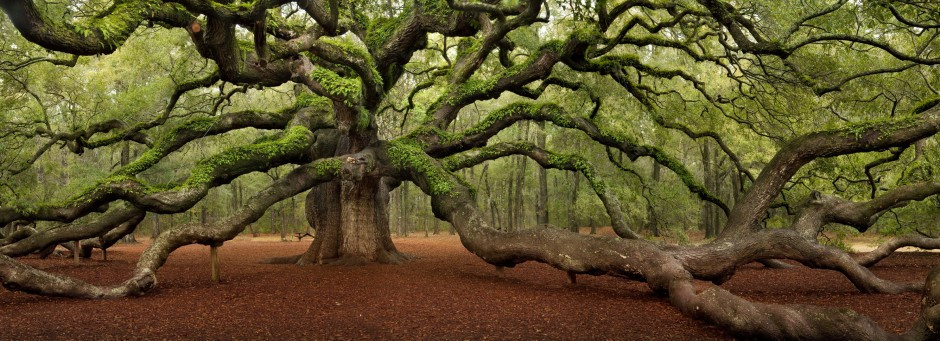 Known as the Angel Oak, this magnificent oak tree is between 1,400 and 1,500 years old.