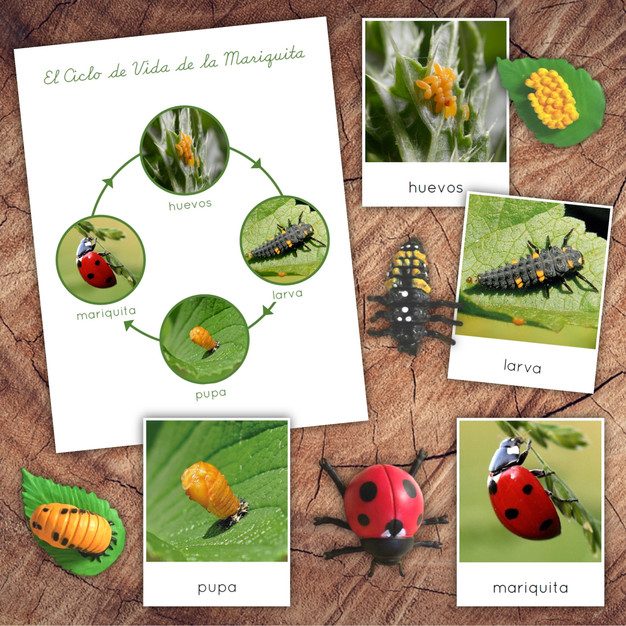 Spanish Ladybug Lifecycle