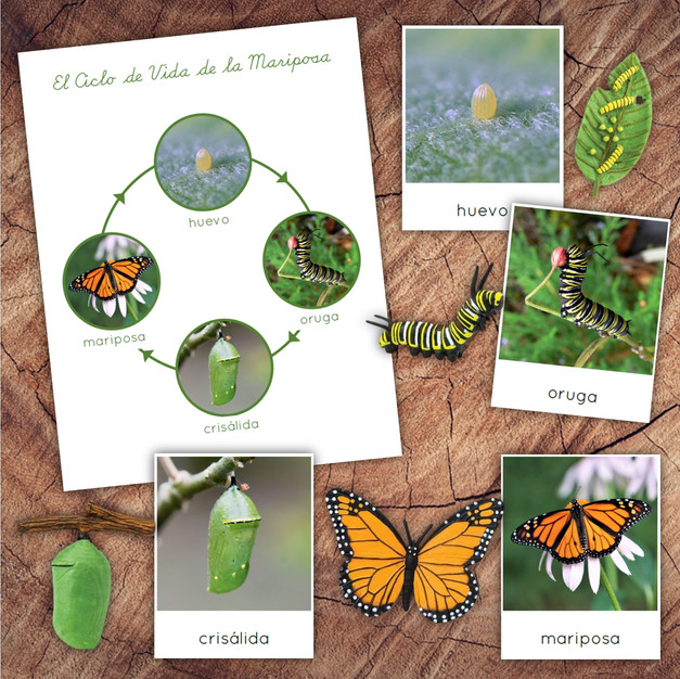 Spanish Butterfly Lifecycle