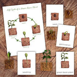 Life Cycle Green Bean Square.png