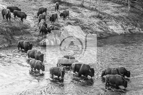 Bison Crossing - Firehole River