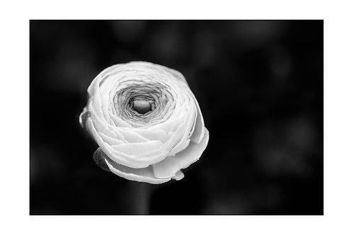 B/W Romantic Ranunculus