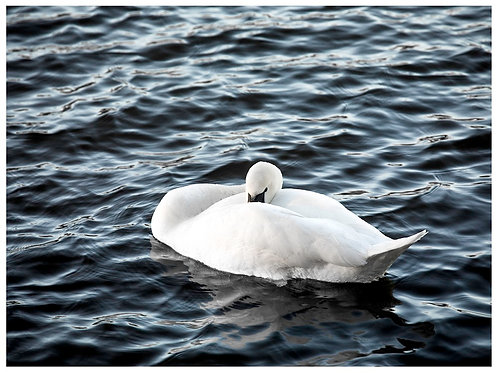 Resting Swan (A3)