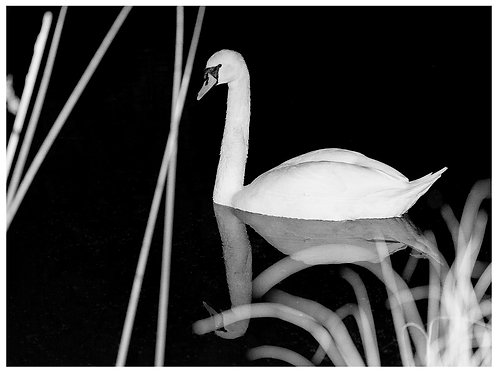 Swan at night (A3)