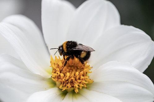 Humble Bumblebee( (A4)