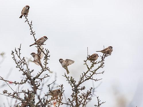 Sparrow Dance (A4)