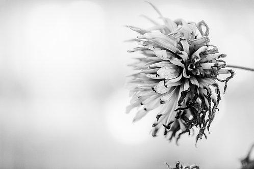 B/W The beauty of a fading Dahlia (A3)