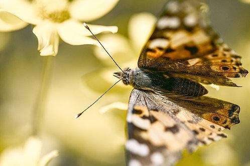 Butterfly II (A3)