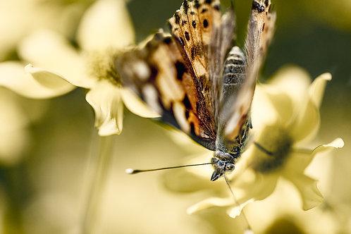 Butterfly III (A3)