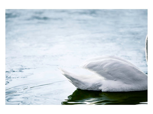 Hiding Swan (A3)