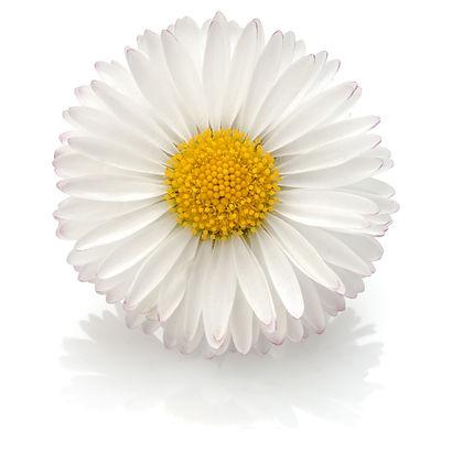 Beautiful single daisy flower isolated on white background cutout.jpg