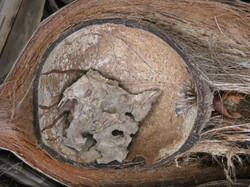 Coconut Wirless
