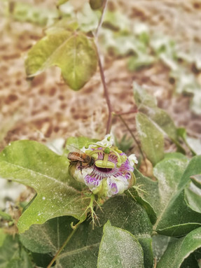 Día mundial de las abejas, su importancia en el ambiente y en la cultura maya.