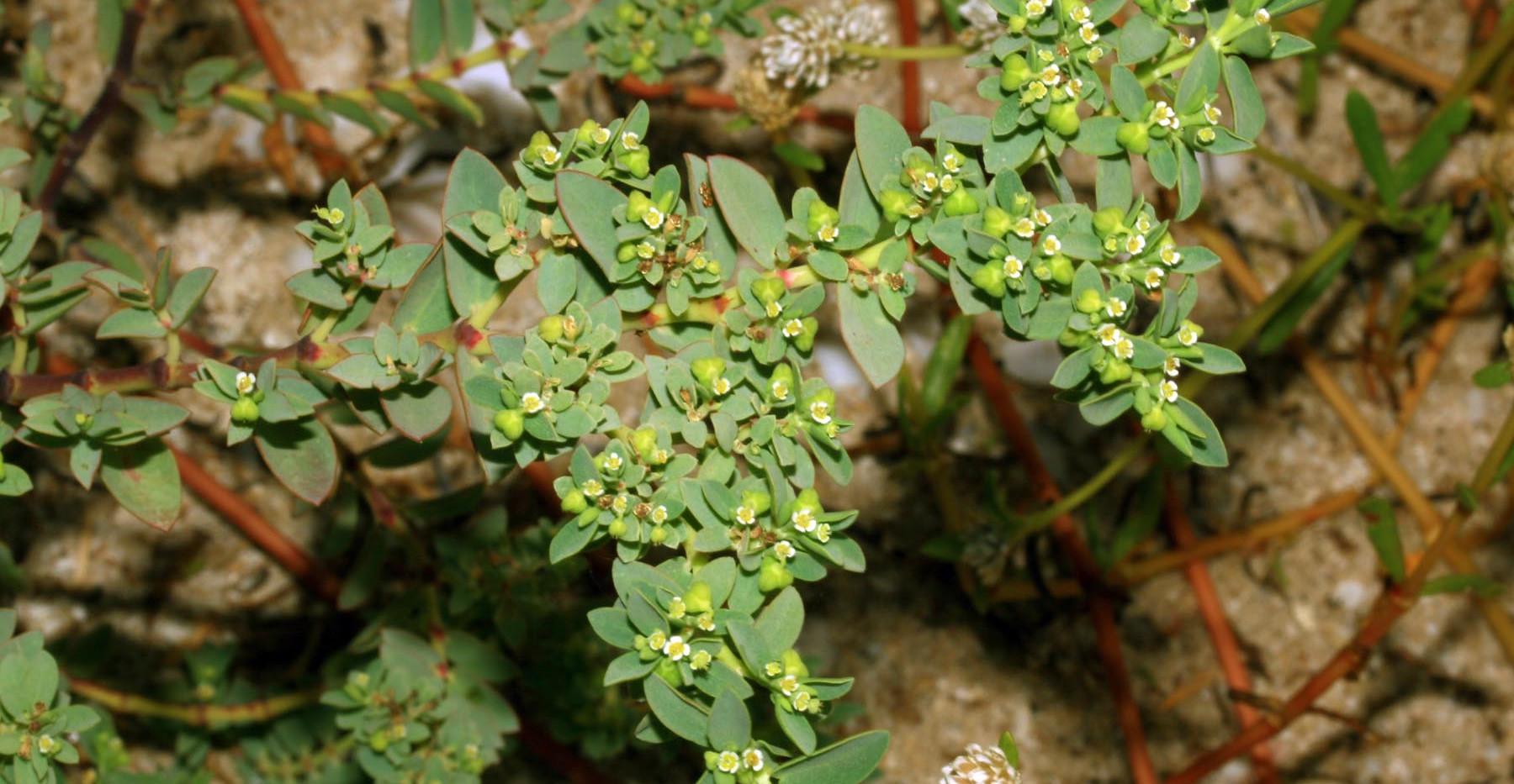 Euphorbia mesembrianthemifolia (1).jpg