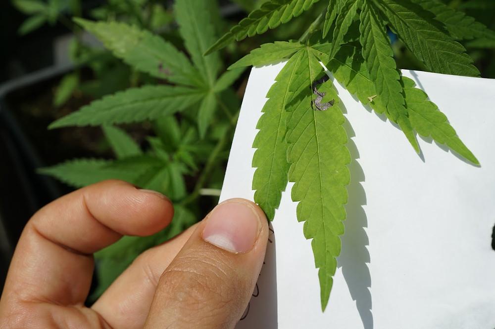 Foto de Cannabis