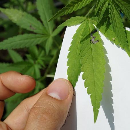 Cannabis: El mayor estudio científico de la historia llega a algunas conclusiones definitivas