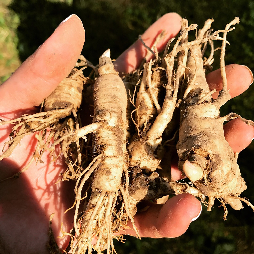 The International Wisconsin Ginseng Festival is Sept. 14-16.